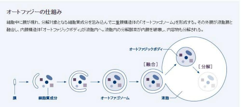オートファジー(細胞の自食作用)の仕組み