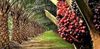 Oil palm leverage to grow Nigeria's economy, NGO tasks states