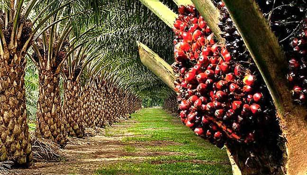 Oil palm leverage to grow Nigeria's economy, NGO tasks states