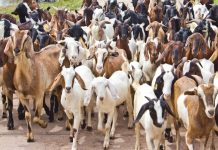 Eid-el-Kabir: Ram price skyrockets to N102,000, as Nigerians bemoan inflation of foodstuffs