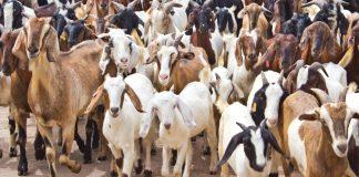 Eid-el-Kabir: Ram price skyrockets to N102,000, as Nigerians bemoan inflation of foodstuffs