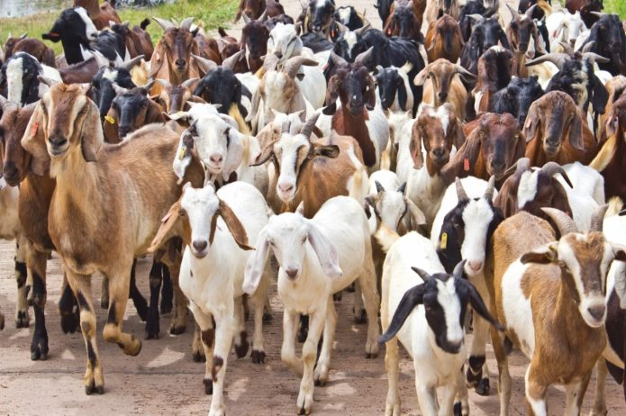 Eid-el-Kabir: Zamfara Govt. distributes over 5,000 rams, 993 cows