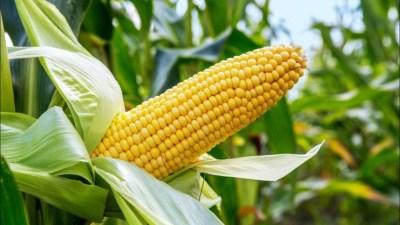 Maize Association of Nigeria