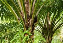 Nigeria Spends $500m Annually On Palm Oil Imports