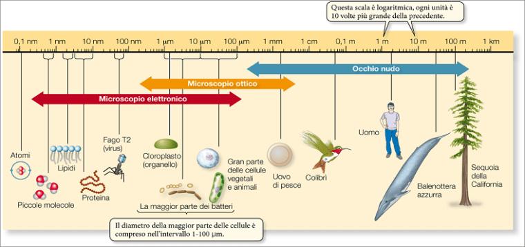 Dimensioni cellule