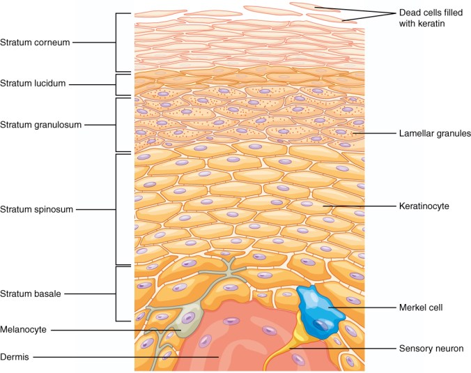 502_Layers_of_epidermis