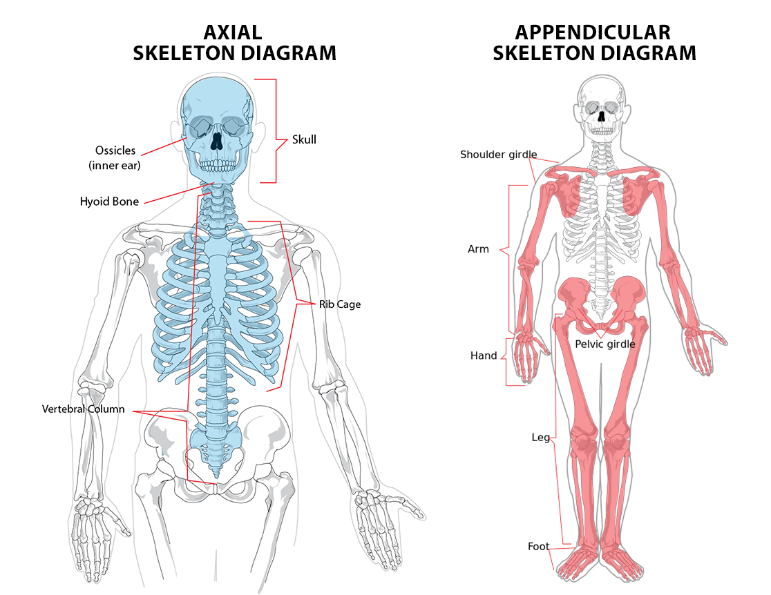 1 1 The Skeletal System