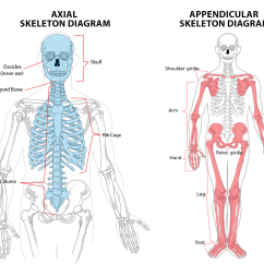 Axial Skeleton Skull Diagram Ford Galaxy Front Suspension 1  The Skeletal System Ib Sehs Notes