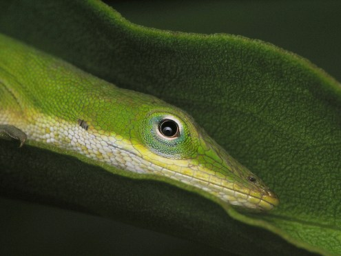 A hiding green anole makes a great subject