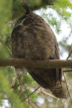 wake up lazy Great Horned Owl!