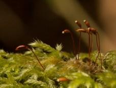 Moss Sporangia.