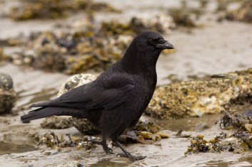 Crow searching the intertidal at Second Beach