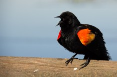 Likewise the Red-winged Blackbirds were singing and sparring near the lake.