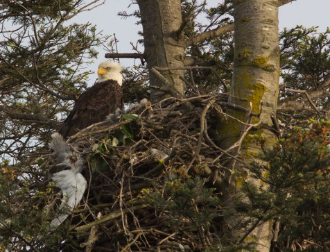 The Bald Eagles nest at Oak Bay Firehall every year, and are great in the evening light!