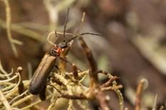 Soldier Beetle.