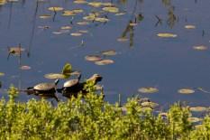 Western Painted Turtles (I presume) sunning.