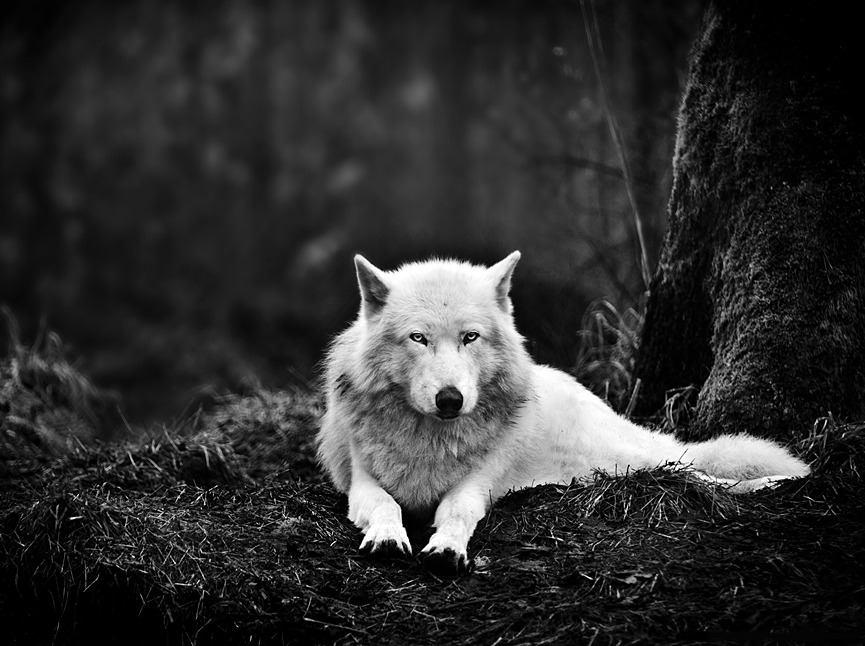 Lobo gris, Washington. Mukul Soman, National Geographic