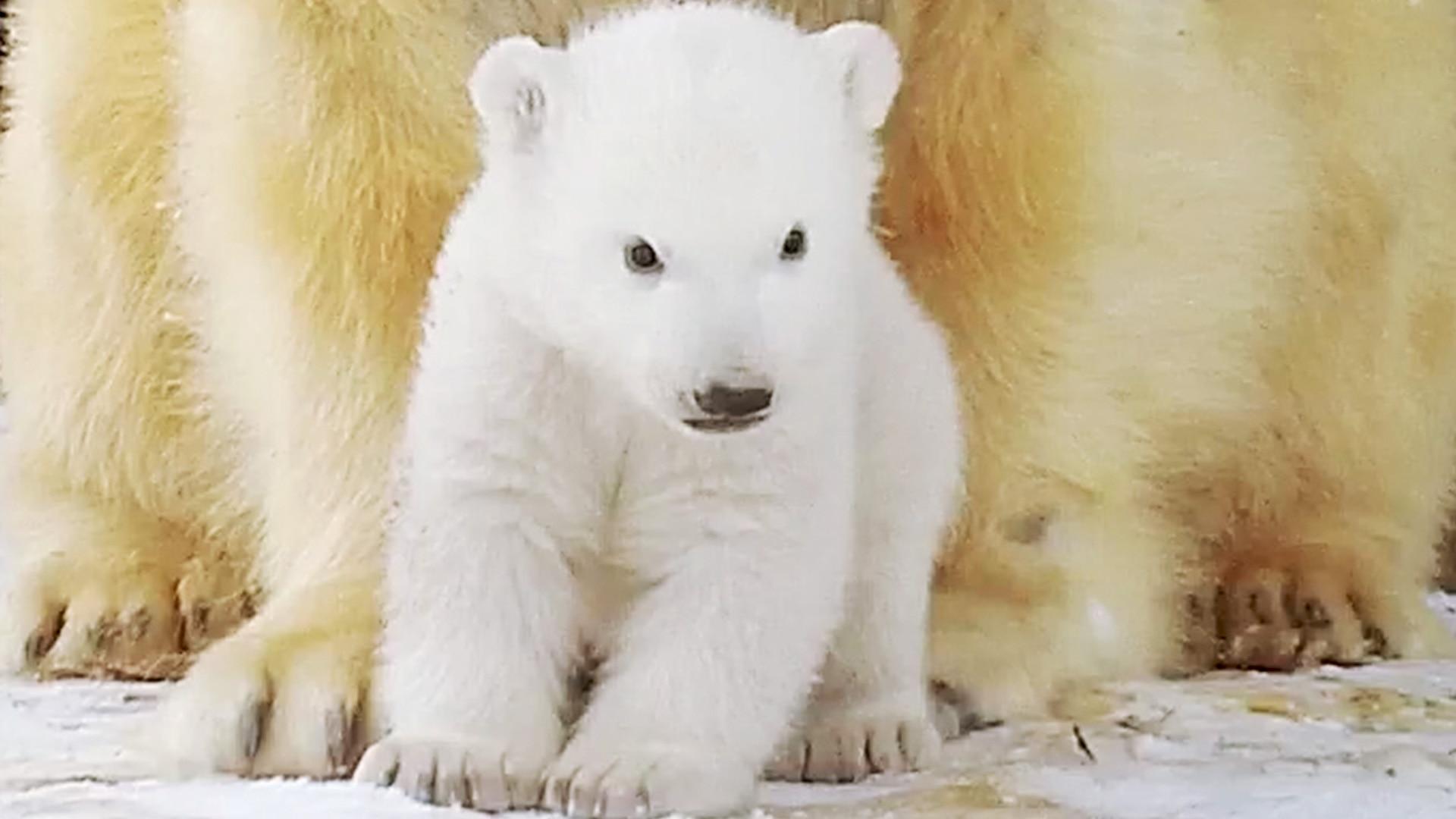 Britains Polar Bear Cub  All 4