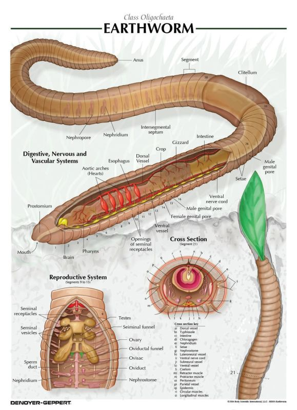 earthworm digestive system diagram baldor electric motors wiring dissection - biotexan