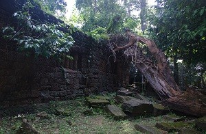One of the Angkor Temples - Fallen Tree
