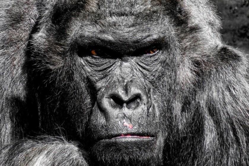 gorilla-752875_1920_1.jpg
