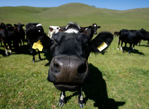 Moooooooo... How peaceful the life of a cow.