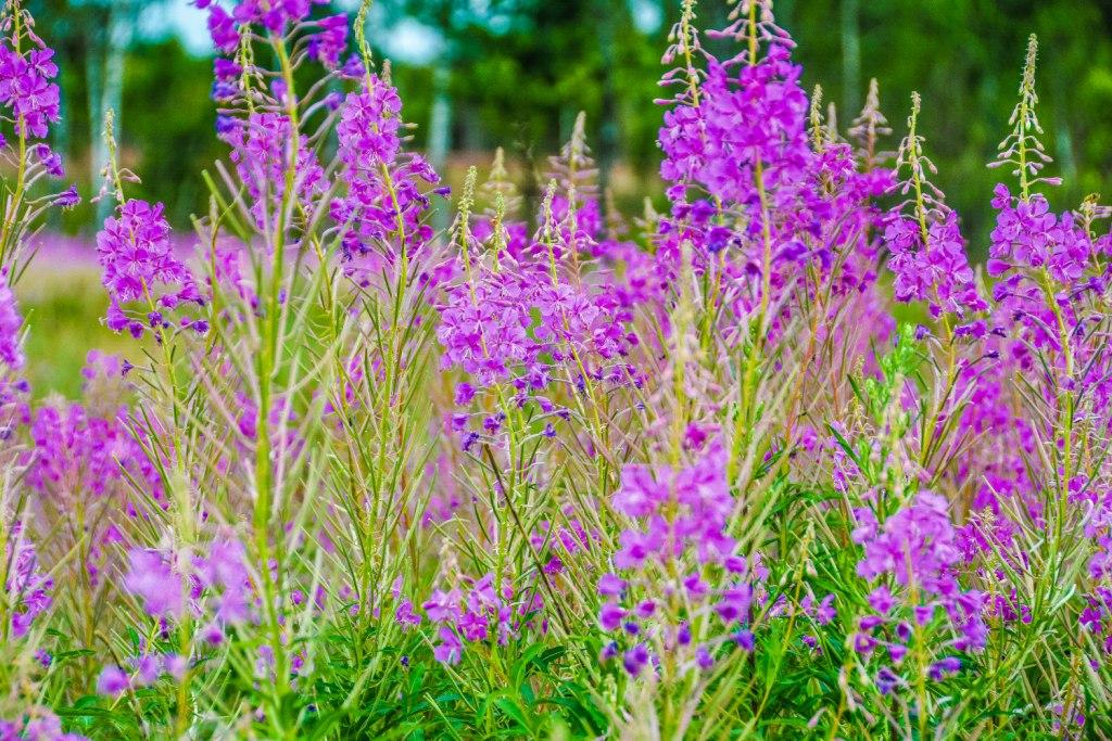 Растение иван чай фото полезные свойства
