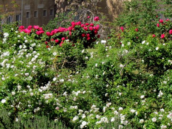 Rosa hybrida IMG_7733