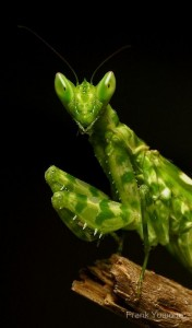 Luminous Mantis.