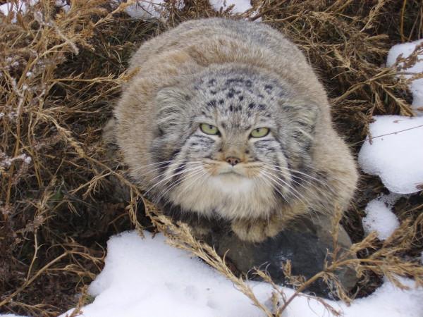 Wild cat - manul