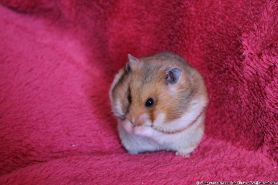 pierderea hamsterilor de greutate