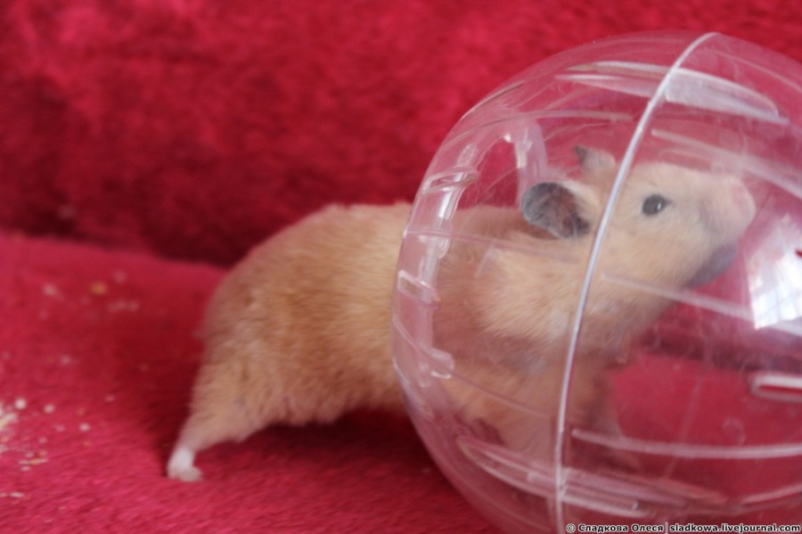 hamster trebuie să piardă în greutate)