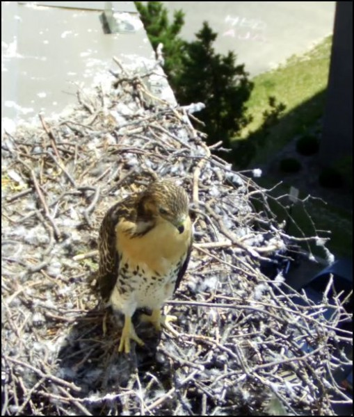 last WI hawk to fledge original