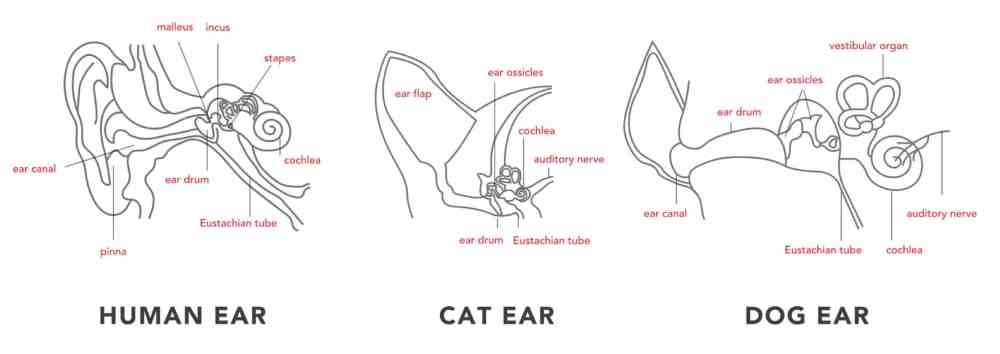 medium resolution of ear anatomy human cat dog