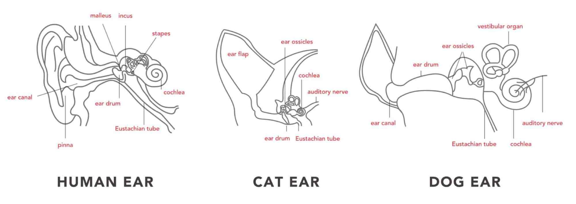 hight resolution of ear anatomy human cat dog