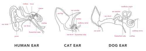 small resolution of ear anatomy human cat dog