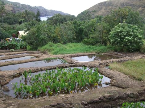 Photo of Taro Field, Old Kahakuloa Village, Maui