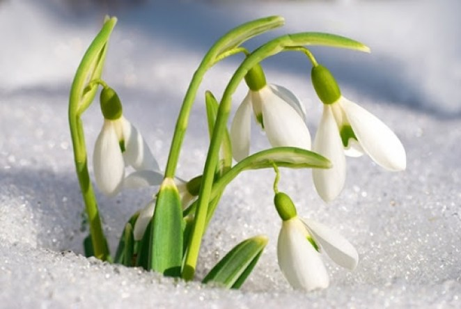 What is Istanbul snowdrop #1