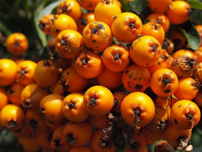 What is mountain ash #3