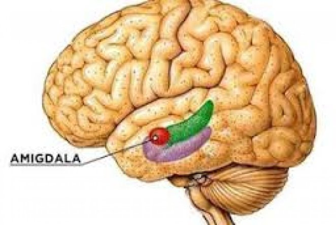 What is the amygdala #1