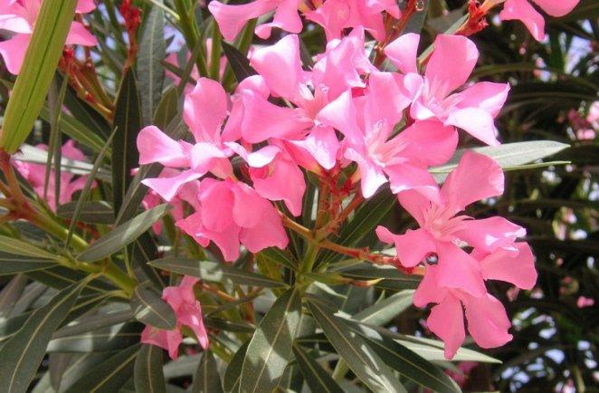What is oleander #1