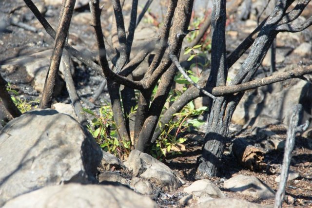 Bodrum'daki yangının ardından doğa kendini onarmaya başladı #7