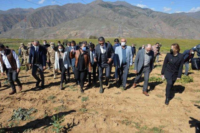 Erzurum'da İspir fasulyesinin hasadına başlandı #2