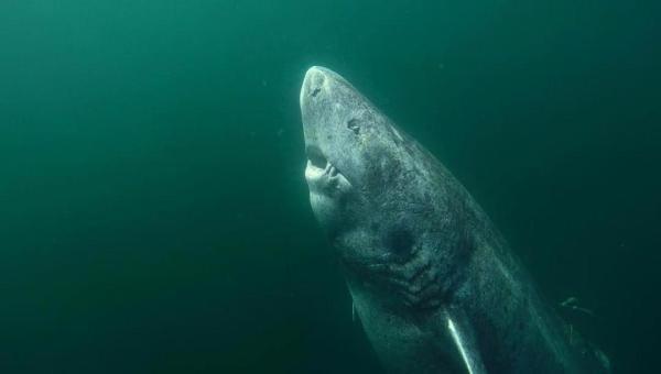 Dünyanın en yaşlı köpek balığı Atlas Okyanusu'nda bulundu
