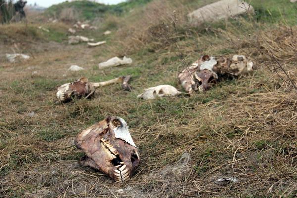 Adana'da yüzlerce at ve eşek kemiği bulundu