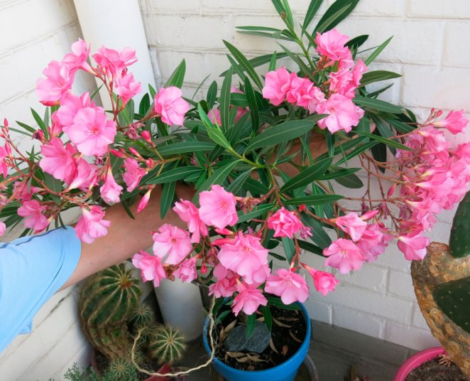 7 plants that can be dangerous to grow at home #3