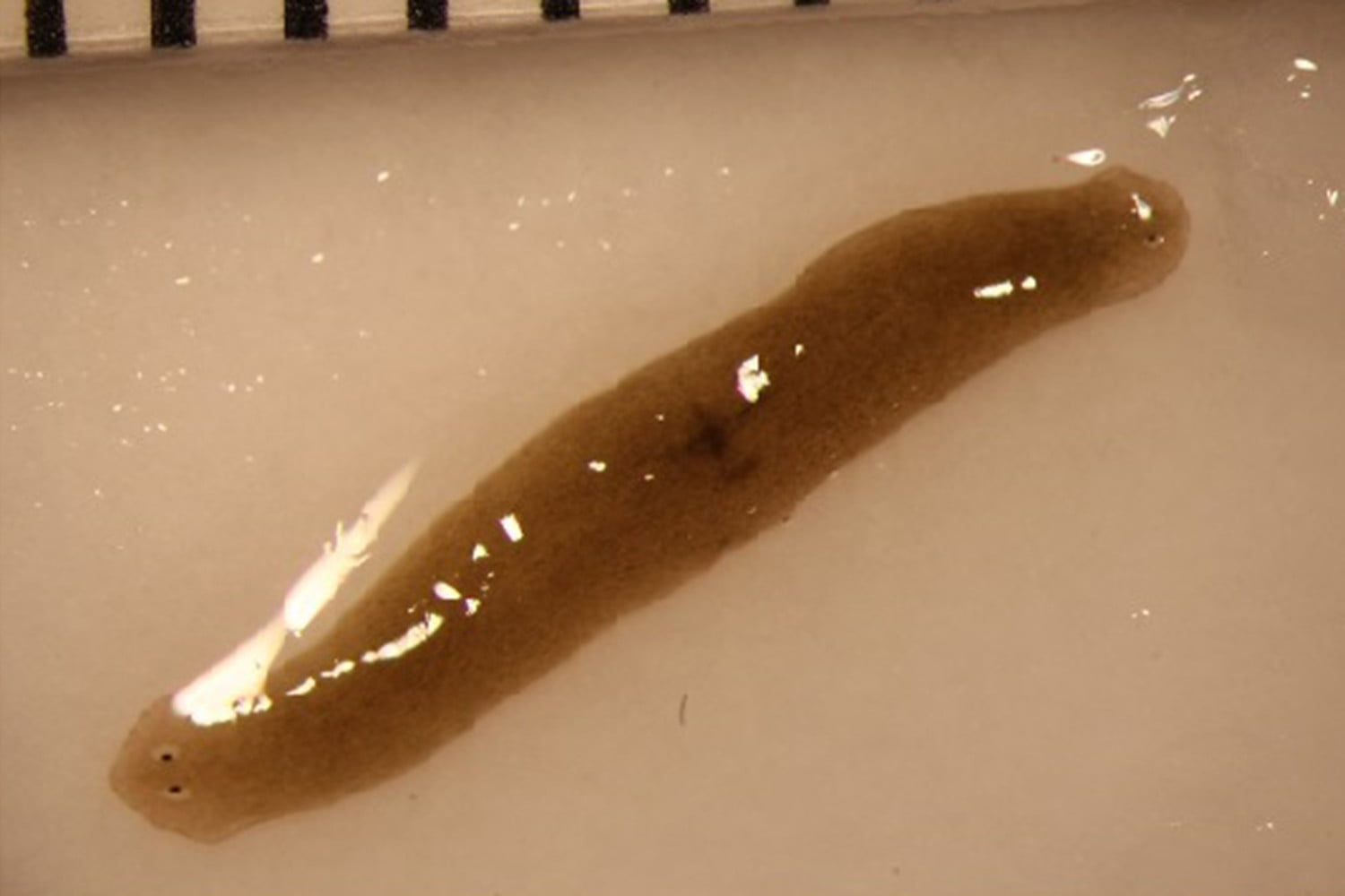 Space oddity Flatworm sent into orbit returns to Earth