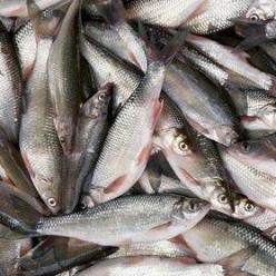 Рыбалка весной. Плотва - рыба, которая ловится на донку