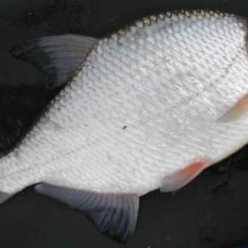 Рыба густера: фото, описание, где водится и на что ловить