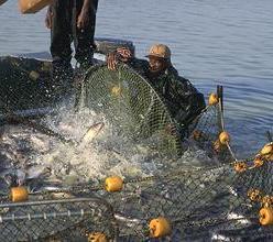 Что такое дрифтерный промысел? В чем вред дрифтерного лова для экологии?